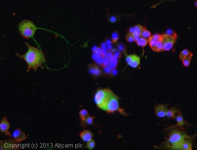 Immunocytochemistry/ Immunofluorescence - Anti-Dopamine Transporter antibody (ab111468)