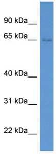 Western blot - SYTL1 antibody (ab111498)