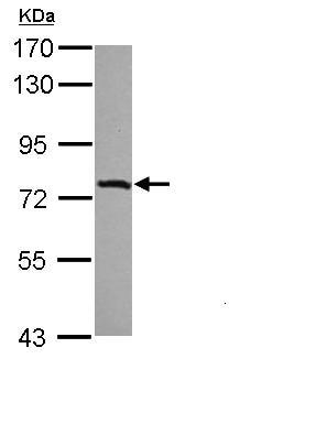 Western blot - IL17RD antibody (ab111553)