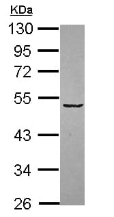 Western blot - Siglec 7 antibody (ab111619)
