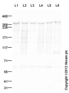 Western blot - Anti-Filamin A antibody (ab111620)