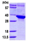 SDS-PAGE - WDR68 protein (ab111624)