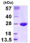 SDS-PAGE - COX4NB protein (ab111626)