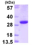 SDS-PAGE - Ephrin B1 protein (ab111630)