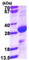 SDS-PAGE - Density Regulated Protein (ab111640)