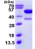 SDS-PAGE - KAT2A / GCN5 protein (ab111648)