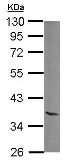 Western blot - NTAN1 antibody (ab111710)