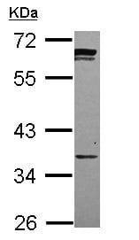 Western blot - PPCS antibody (ab111718)