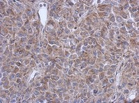 Immunohistochemistry (Formalin/PFA-fixed paraffin-embedded sections) - FUZ antibody (ab111842)