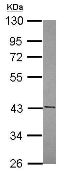 Western blot - FUZ antibody (ab111842)