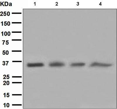 Western blot - Cyclin H antibody [EPR3928] (ab111933)