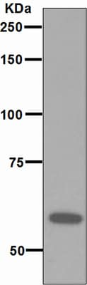 Western blot - RNF36  antibody [EPR4755] (ab111943)