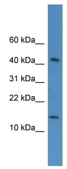 Western blot - C19orf73 antibody (ab112080)
