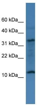 Western blot - C14orf177 antibody (ab112082)