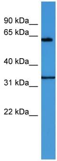 Western blot - ENOX2 antibody (ab112085)