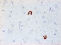 Immunohistochemistry (Formalin/PFA-fixed paraffin-embedded sections) - Anti-Neuropeptide Y antibody [8] (ab112473)