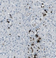 Immunohistochemistry (Formalin/PFA-fixed paraffin-embedded sections) - Anti-FCN1 antibody [1] (ab112476)