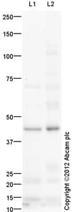 Western blot - Anti-CCR3 antibody (ab112515)