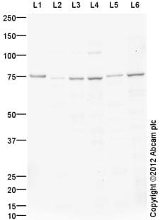 Western blot - Anti-Hsc70 antibody (ab112549)