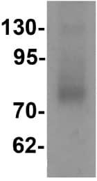 Western blot - Anti-Rsafd1 antibody (ab113097)