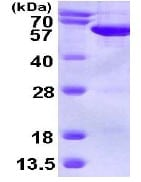 SDS-PAGE - SEPT6 protein (ab113123)