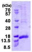 SDS-PAGE - CENPH protein (ab113134)
