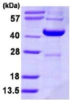 SDS-PAGE - DCPS protein (ab113138)