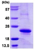 SDS-PAGE - MRCL3  protein (ab113139)