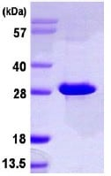 Functional Studies - NT5M protein (ab113140)