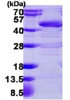 SDS-PAGE - HLF protein (ab113145)