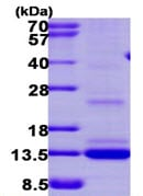 SDS-PAGE - MGP protein (ab113156)