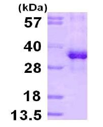 SDS-PAGE - RPS3 protein (ab113158)