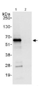 Immunoprecipitation - CBF1 interacting corepressor antibody (ab113203)