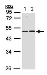 Western blot - Isocitrate dehydrogenase antibody (ab113232)