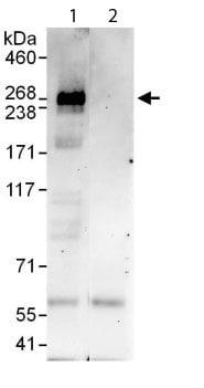 Immunoprecipitation - RREB1 antibody (ab113287)