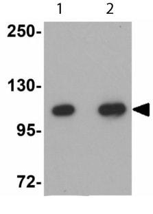 Western blot - Cdc27 antibody (ab113361)