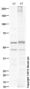 Western blot - Anti-MMP12 antibody (ab113514)