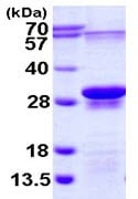 SDS-PAGE - EIF3S1 protein (ab113578)