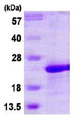 SDS-PAGE - MAFG protein (His tag) (ab113589)