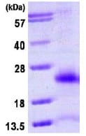 SDS-PAGE - Human Ubiquitin D full length protein (ab113594)