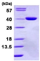 SDS-PAGE - GPD1L protein (ab113595)