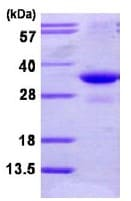 SDS-PAGE - PSMG2 protein (ab113597)