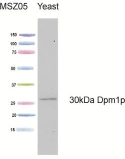 Western blot - DPM1 antibody [5C5A7] (ab113686)