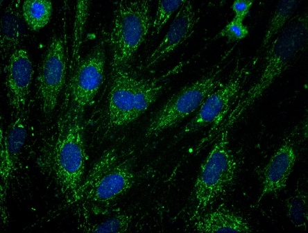 Immunocytochemistry/ Immunofluorescence - Frataxin antibody [17A11] (ab113691)