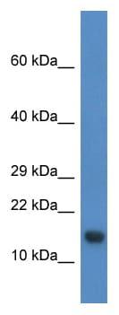 Western blot - PNRC2 antibody (ab113834)