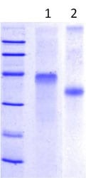 SDS-PAGE - Follistatin protein (ab113866)