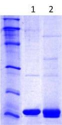 SDS-PAGE - BLBP protein (ab113868)