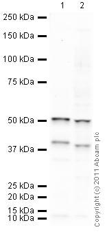 Western blot - Anti-BMP7 antibody (HRP) (ab113903)