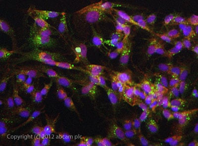Immunocytochemistry/ Immunofluorescence - Anti-htrA1 antibody (ab113927)