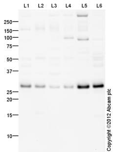 Western blot - Anti-HMGB2 antibody (ab113929)